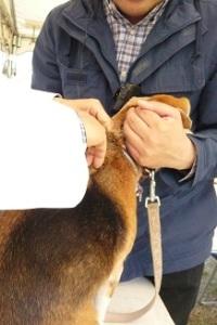 平成27年度稲城市地域防災訓練    マイクロチップの埋め込み