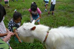 学校飼育動物 ヤギ