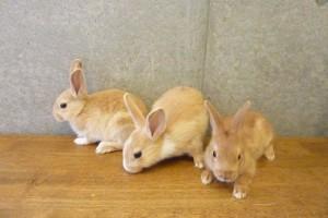 学校飼育動物ウサギ